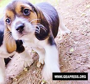 beagle green hill