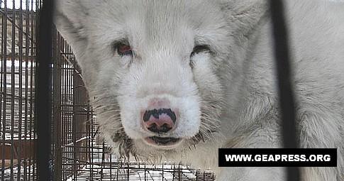 cane procione pellicce