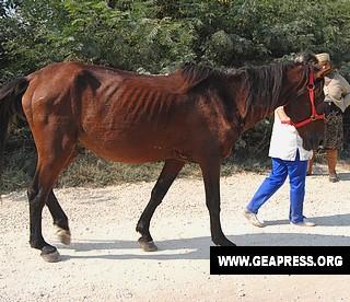 Cavalli in Romania3