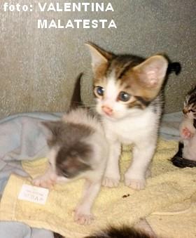 cop gattino