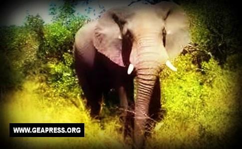 elefante africano II